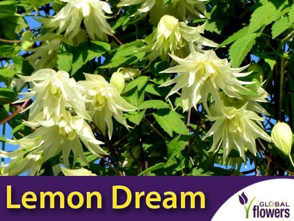 Clematis Powojnik 'Lemon Dream' PBR Sadzonka