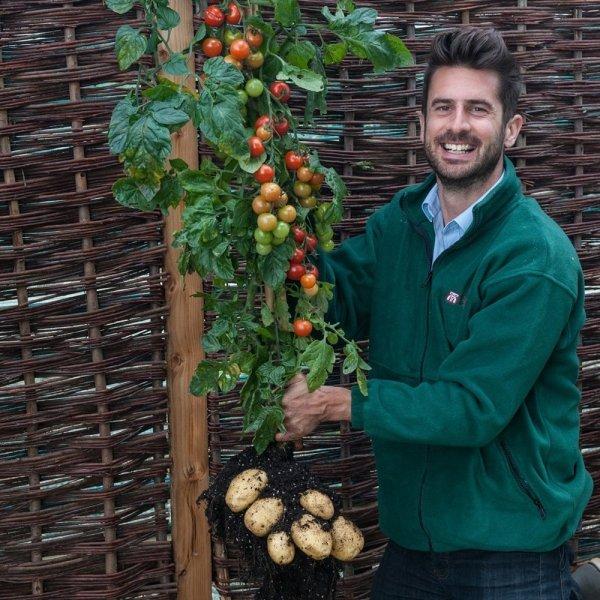 Pomidoro-ziemniak sadzonki