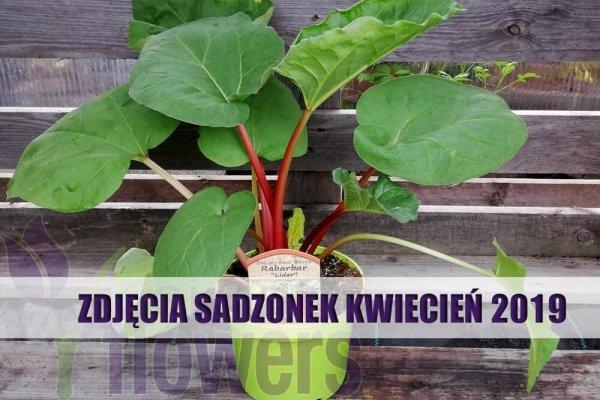 rabarbar sadzonki kiedy sadzić