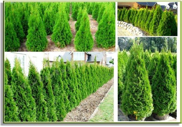 Wiecznie zielona Tuja