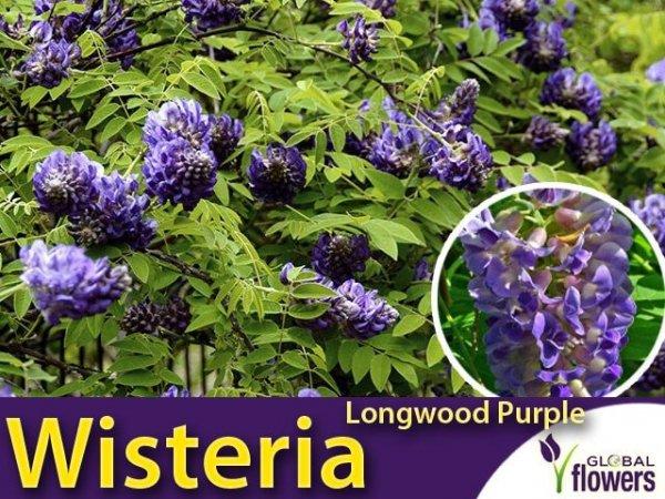Wisteria amerykańka LONGWOOD PURPLE (Wisteria frutescens) 3 letnia Sadzonka C2