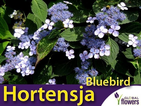 Hortensja piłkowana (Hydrangea serrata) 'Bluebird' łatwa uprawa
