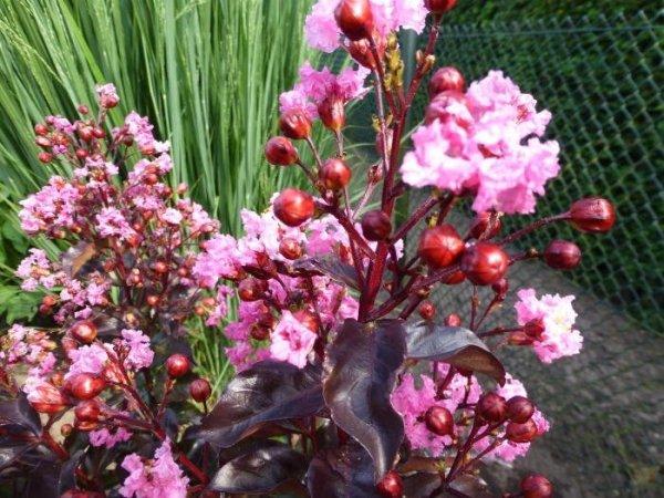 Lagerstroemia o różowych kwiatach
