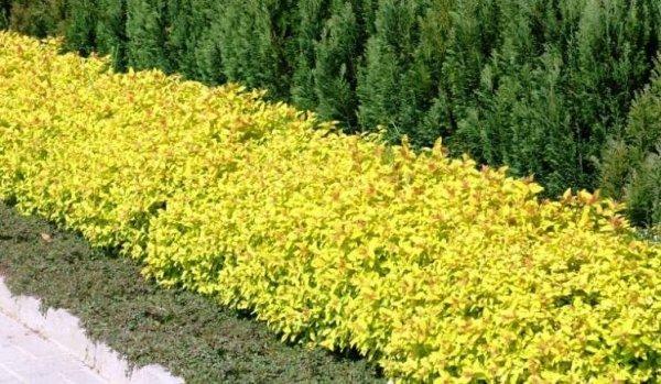 Tawuła Japońska  cięcie po kwitnieniu