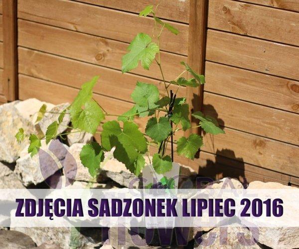 Winorośl, winogrona, Vitis uprawa