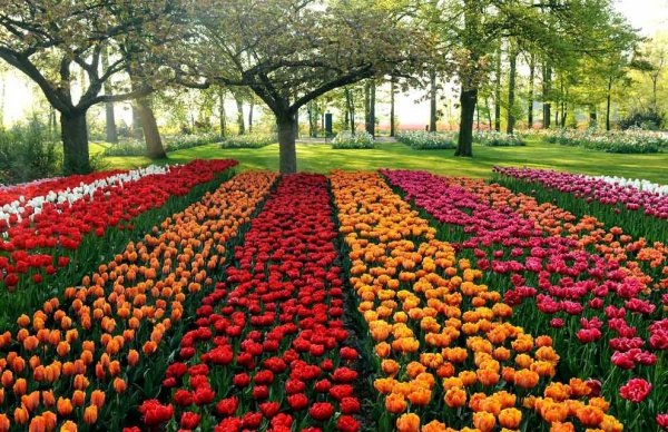 Pola tulipanów Darwina