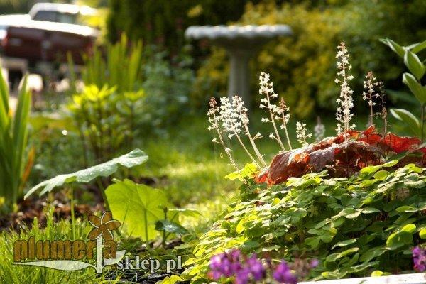 Żurawki i żuraweczki uprawa w ogrodzie