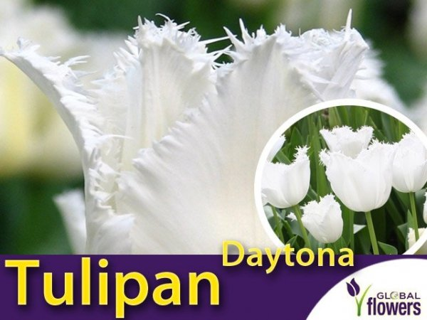 Tulipan strzępiasty 'Daytona' (Tulipa) CEBULKI