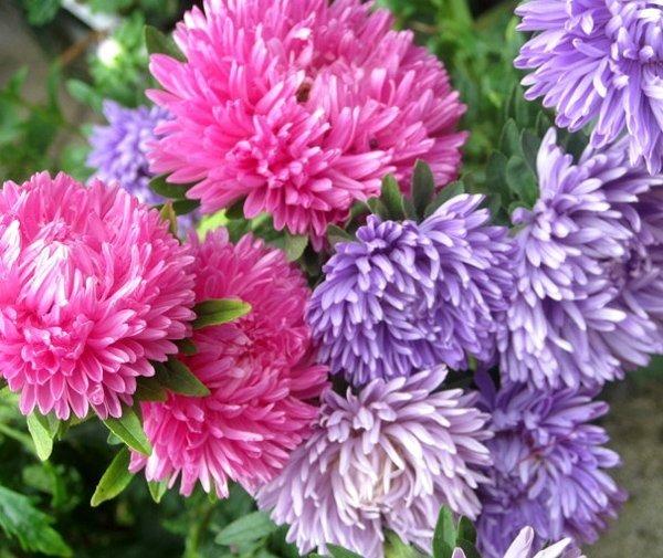 Pełne kwiaty astra