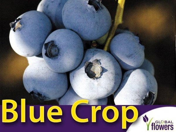 najlepsza odmiana borówki amerykańskiej bluecrop