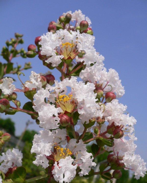 Lagerstroemia Petite White sadzonki uprawa Bez południa biały