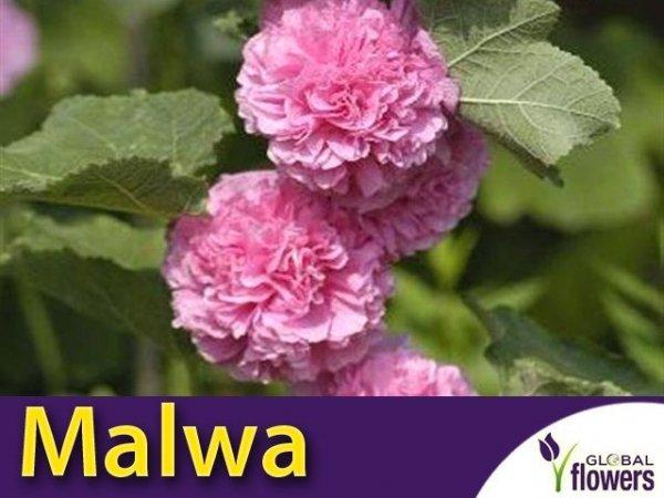 Malwa pełna (Alcea rosea) Bright Pink CEBULKA