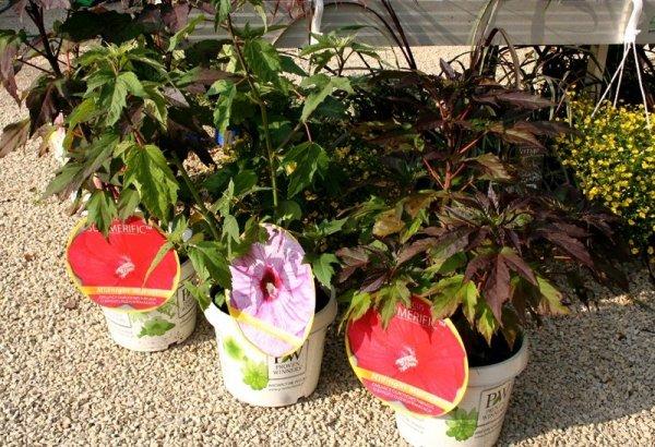 hibiskus o oromnych kwiatach