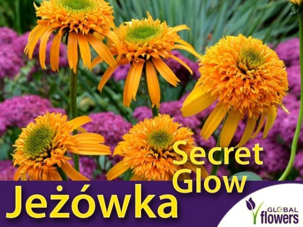 Jeżówka 'Secret Glow' (Echinacea) Sadzonka