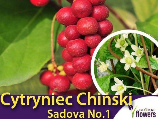 Cytryniec Chiński 'Sadova No.1' (Schisandra chinensis) Sadzonka