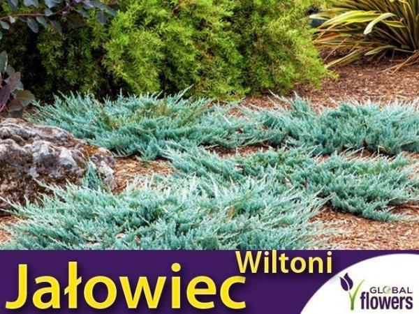 Jałowiec płożący 'Wiltoni' (Juniperus horizontalis) Sadzonka