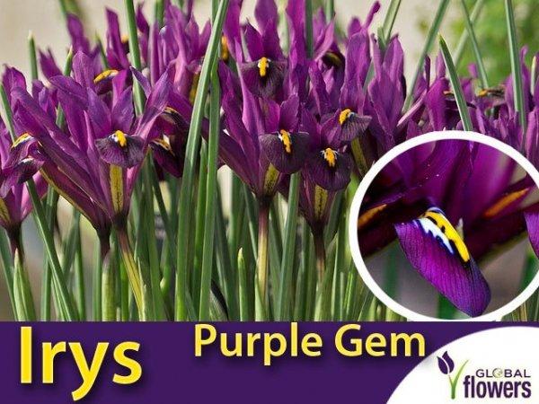 piękny Irys Purpurowy Purple Gem