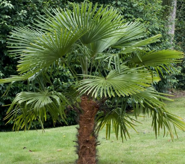 Trachycarpus fortunei sadzonka cena