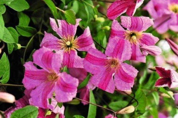 Powojnik o różowych kwiatach