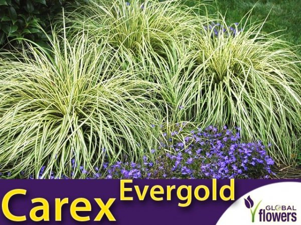 Turzyca oszimska 'Evergold' (carex oshimensis) Sadzonka