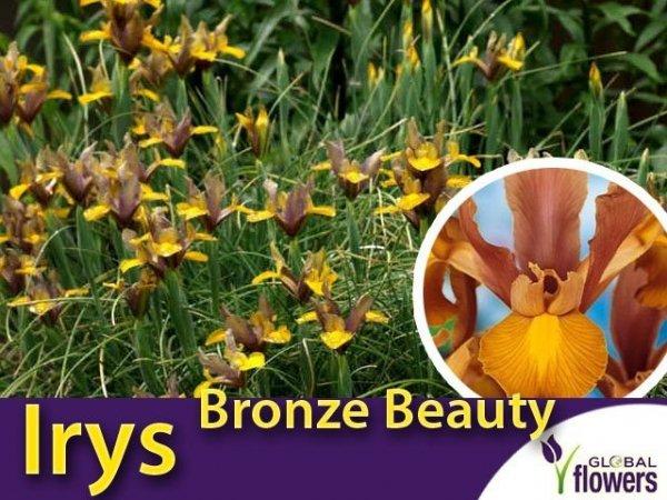 Irys Holenderski Bronze Beauty w cebulkach