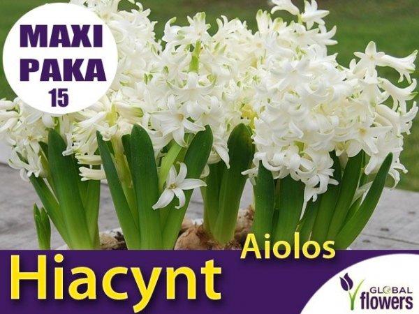 MAXI PAKA 15 szt Hiacynt Wschodni 'Aiolos' (Hyacinthus) CEBULKI