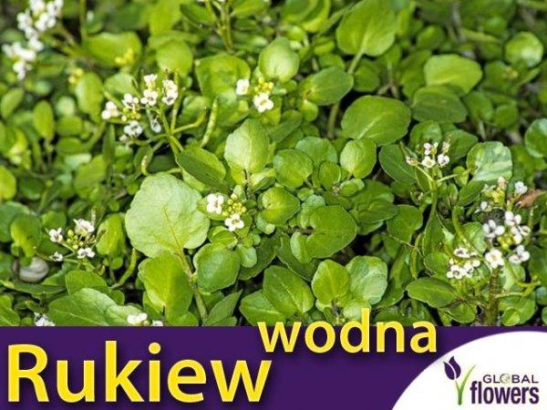Rukiew wodna (Nasturtium officinale)