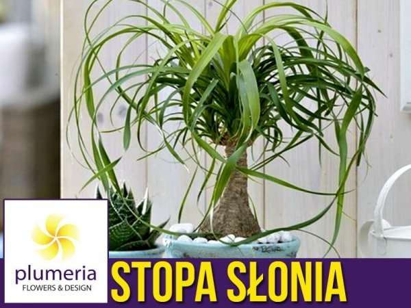 Nolina STOPA SŁONIA (Beaucarnea recurvata) Roślina domowa. Sadzonka P12/P14 - L