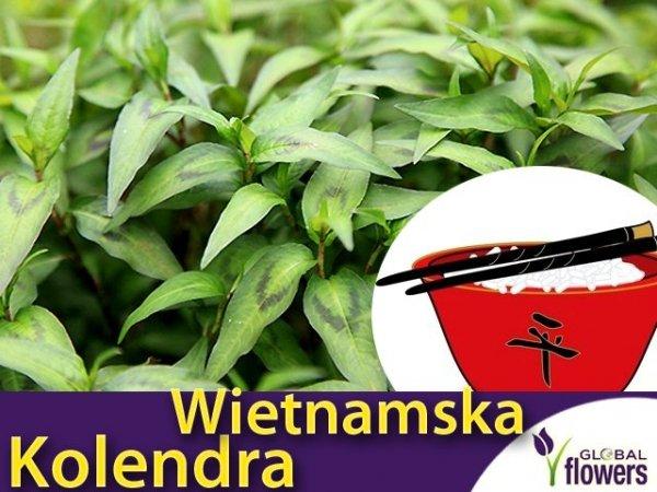 olendra Wietnamska Vietnamese Coriander (Persicaria odorata) Sadzonka
