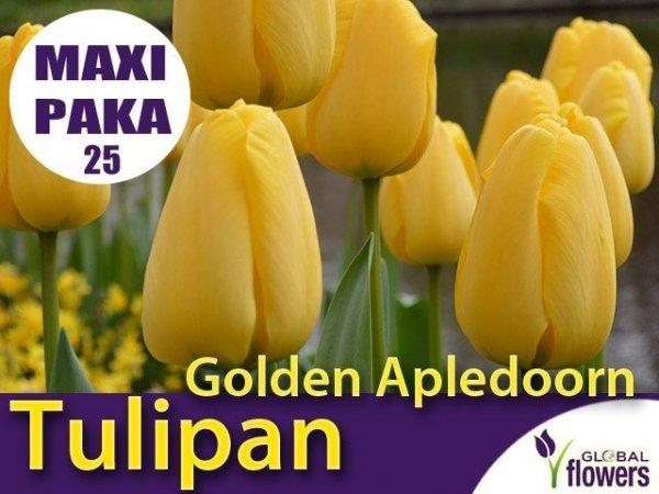 MAXI PAKA 25 szt Tulipan Darwina 'Golden Apledoorn'