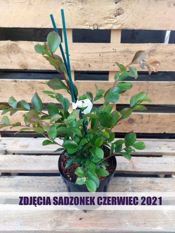 Lagerstroemia Purpurea sadzonka w donicy