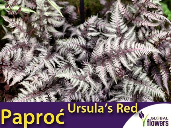 Paproć Wietlica 'Ursula Red' (Athyrium nipponicum) Sadzonka