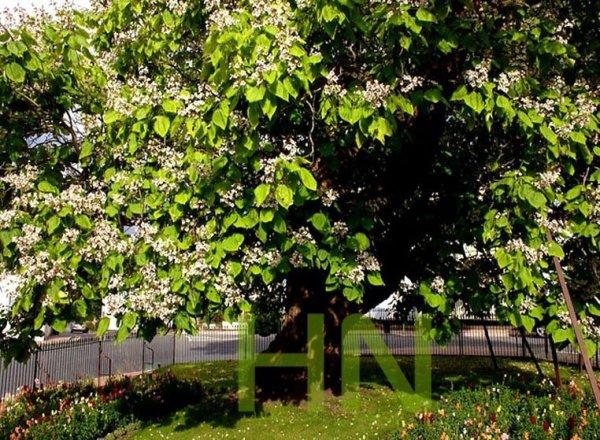 Surmia - Storczykowe drzewo uprawa