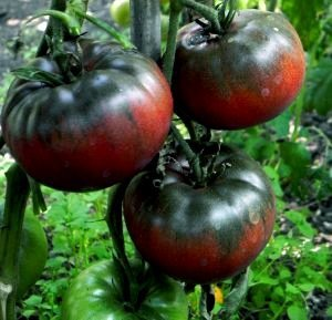 Pomidor Czarny Książe Noire de Crimee (Lycopersicon Esculentum Black Krim)
