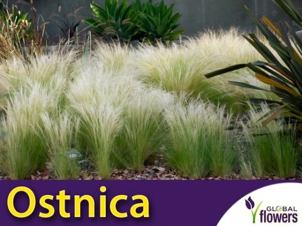 zwiewna trawa sadzonka do nowoczesnych ogrodów ostnica