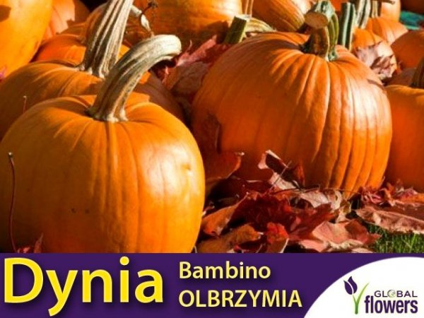 Dynia olbrzymia Bambino (Cucurbita maxima)