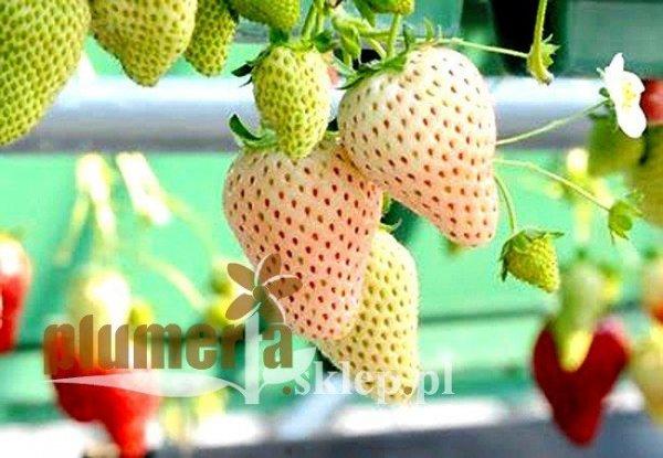 Truskawka anansowa