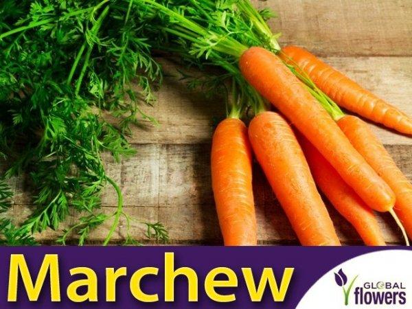 Marchew Amsterdam 2 Wczesna (Daucus carota)