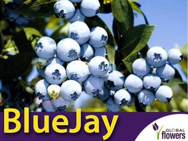 Borówka Amerykańska Sadzonka - odmiana Bluejay