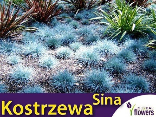 Niebieska Trawa - Kostrzewa Sina