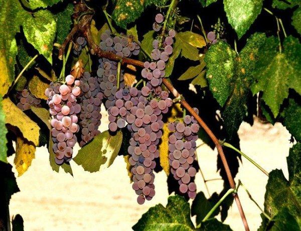 Winorośl do uprawy na działce
