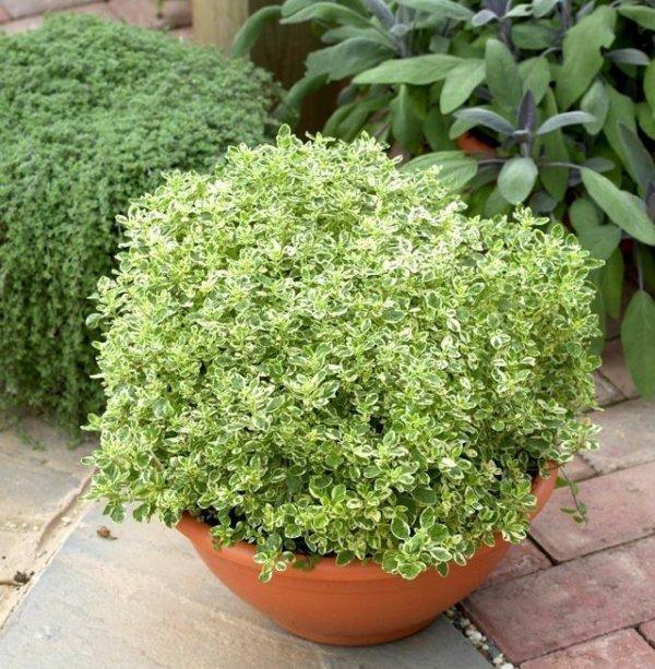 Świeże zioła , uprawa oregano