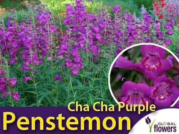 Penstemon 'Cha Cha Purple' (Penstemon) Sadzonka