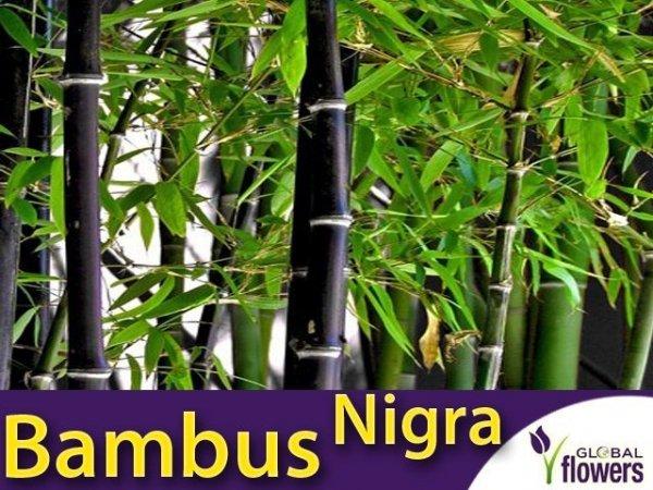 Czarny Bambus Drzewiasty Mrozoodporny