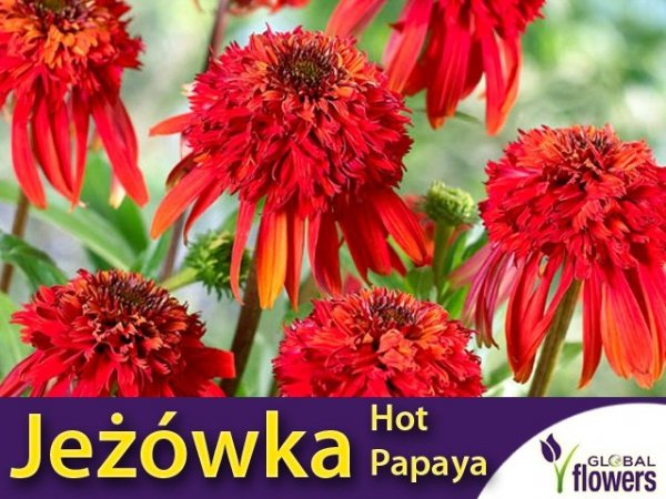 Jeżówka ' Hot Papaya ' (Echinacea) Sadzonka