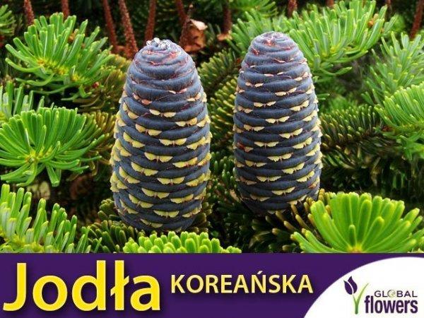 Jodła koreańska (Abies koreana) Sadzonka