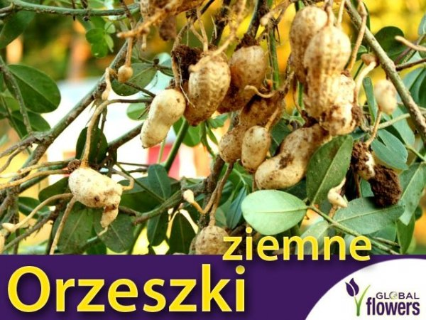 Orzeszki ziemne uprawa z nasion