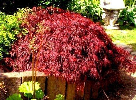 klon palmowy garnet uprawa