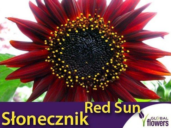 Słonecznik ozdobny (Helianthus annus) Red Sun czerwony