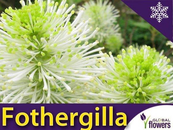 Fotergilla większa (Fothergilla major) Sadzonka